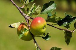 Обрезка молодых яблонь