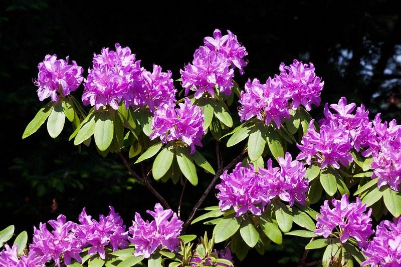 Рододендрон фото цветка