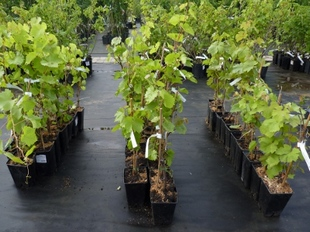Подготовка почвы к посадке винограда