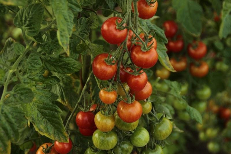 Почему желтеют листья у томатов