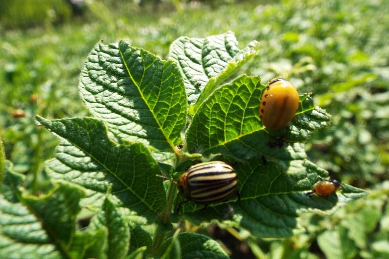 Колорадский жук - вредители на огородах и грядках. Способы борьбы.