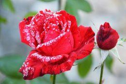 Как укрыть розы на зиму? Помогаем розам пережить зиму