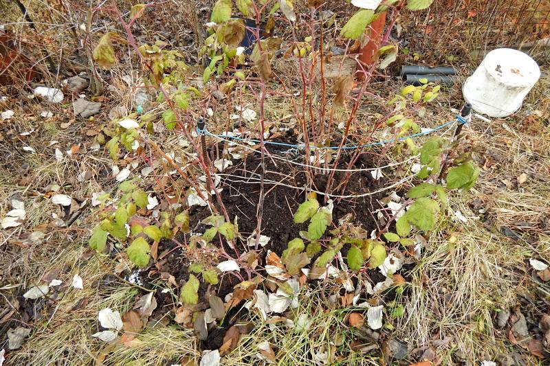 Подготовка малины к зиме. Нужно ли её пригибать?