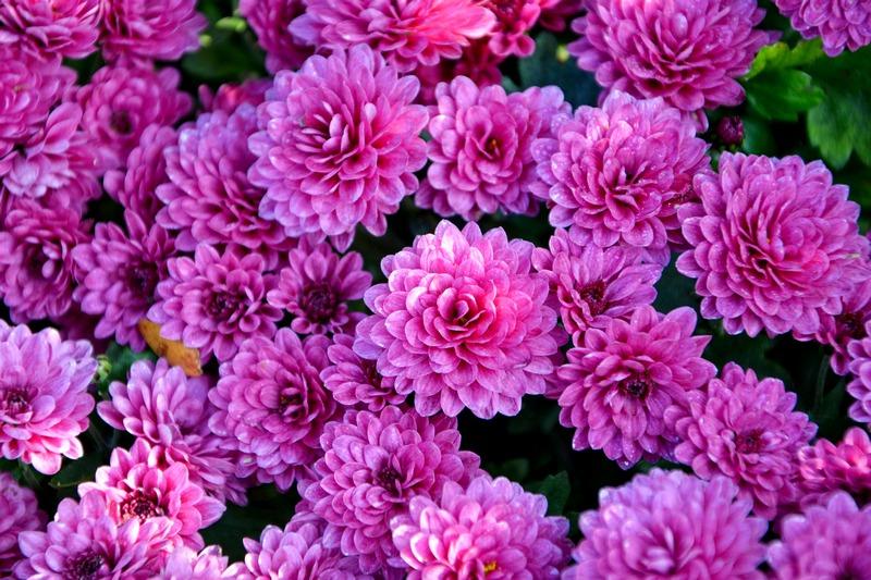 Хризантема фото