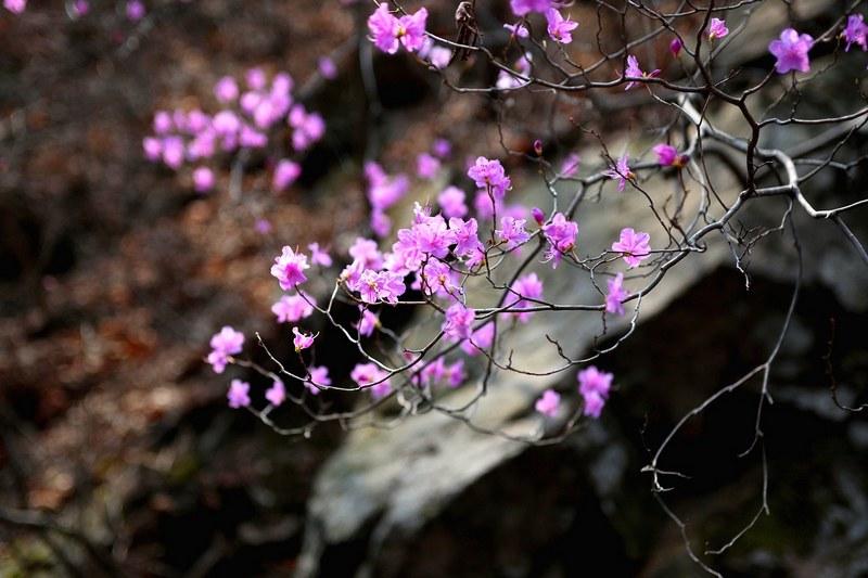 Азалия фото цветка