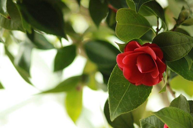 Цветок камелия фото