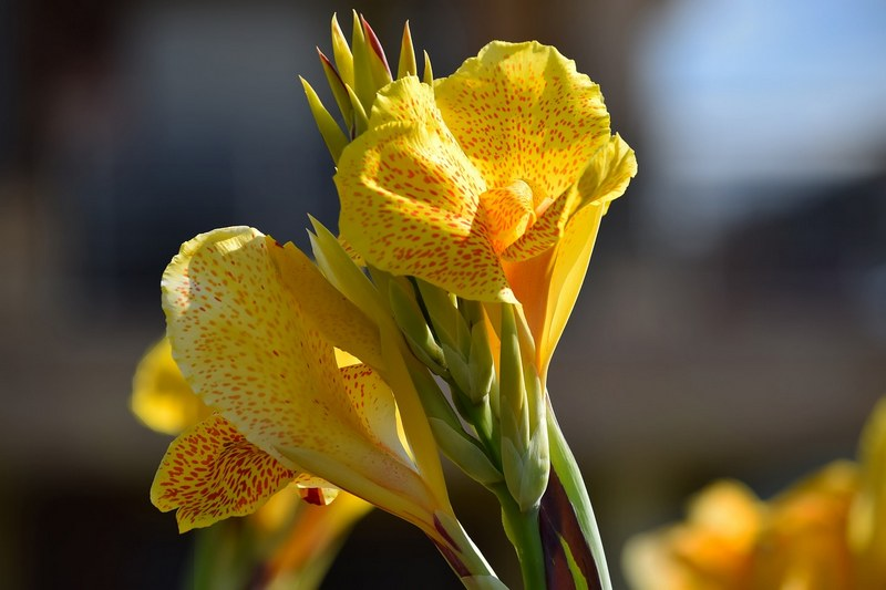 Канна фото цветка