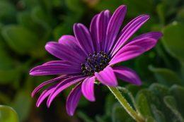 Как вырастить герберу из семян