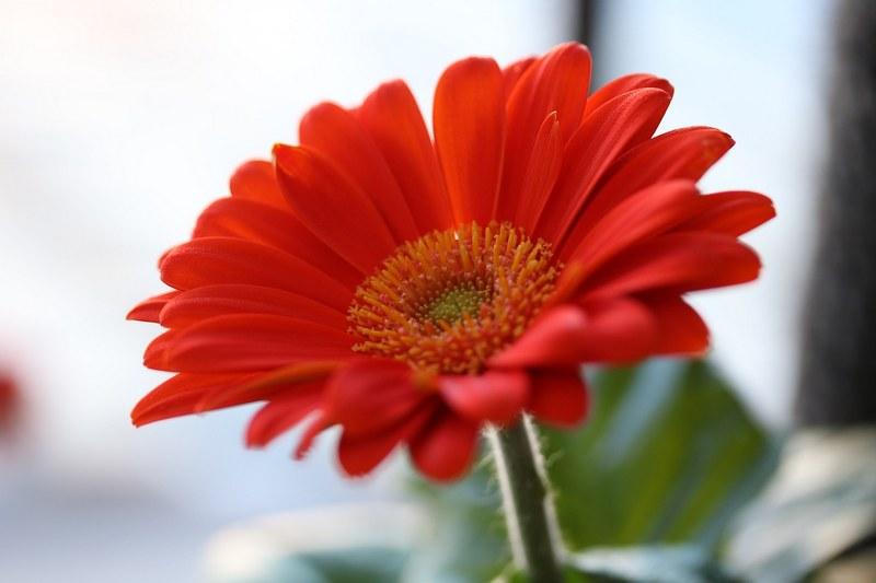 Гербера фото цветка