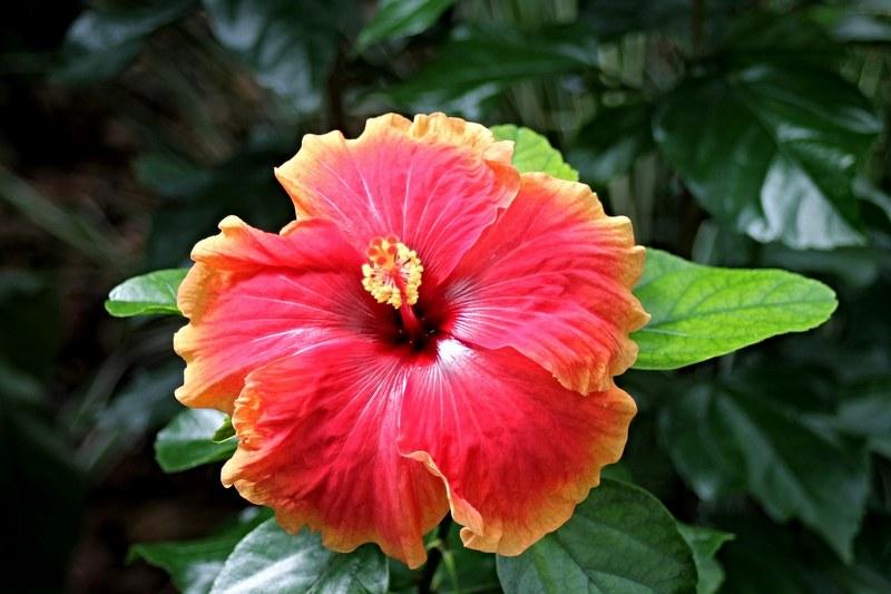 Гибискус фото цветка