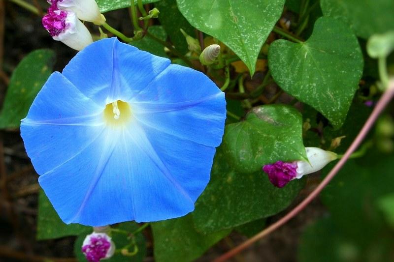 Ипомея фото цветка