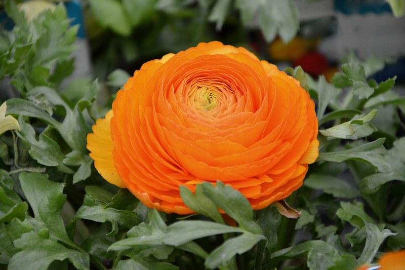 Лютик фото цветка