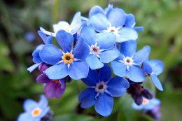 Незабудка фото цветка
