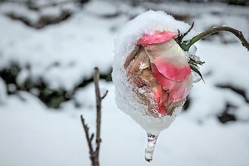 Как правильно снять укрытия с роз весной