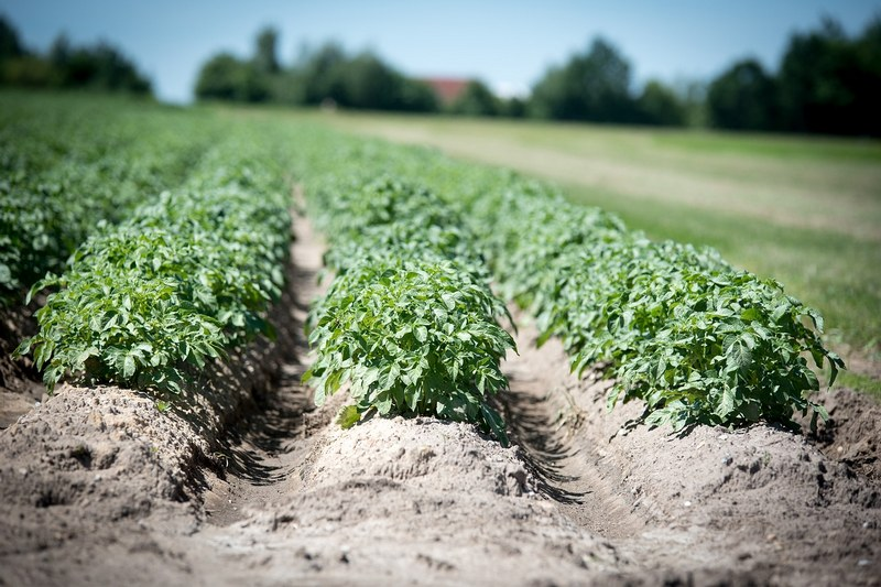 Как правильно окучивать картошку?