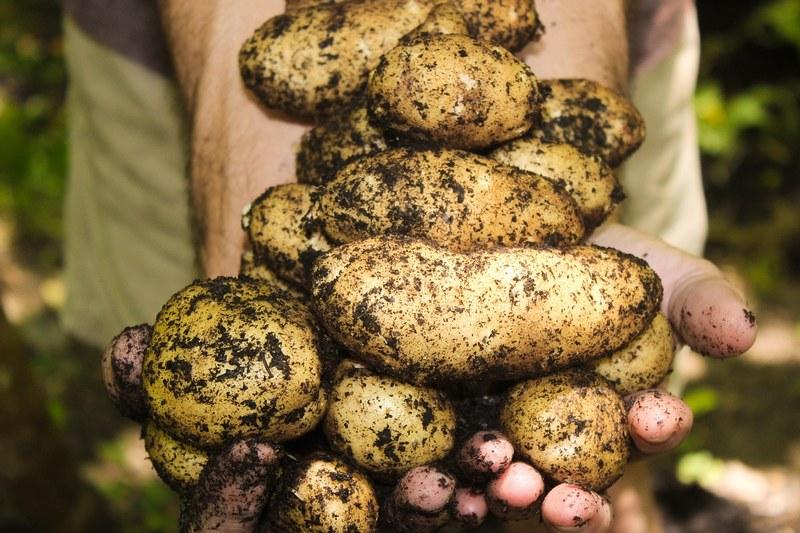 Самые рассыпчатые сорта картошки
