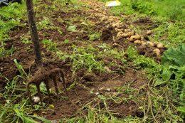 Когда собирать урожай картошки?