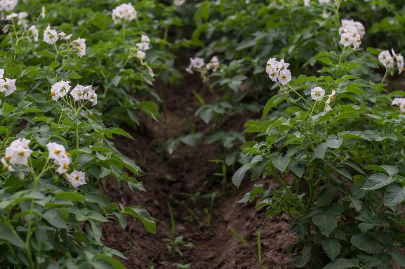 Как поливать картошку в мае, июне, июле, августе?
