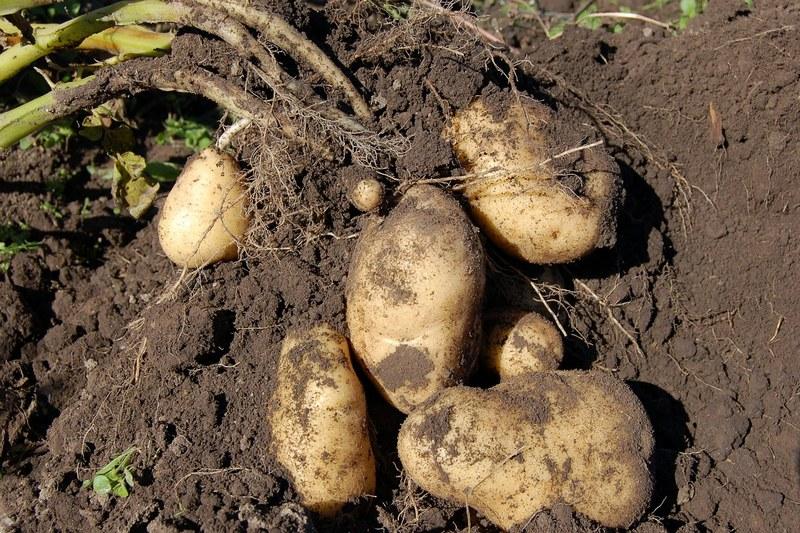 Сколько нужно золы для удобрения картошки?