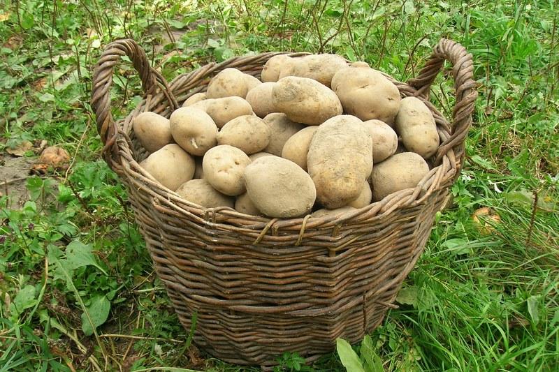 Новый подход к выращиванию картошки