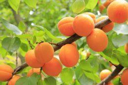 Почему абрикос не плодоносит? Как правильно ухаживать за абрикосом