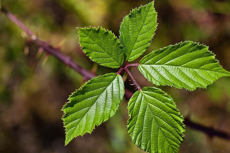 Полезные свойства и применение листьев ежевики