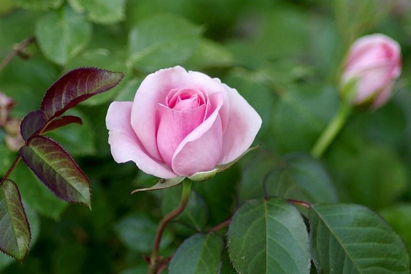 Плетистая роза: описание, посадка и уход