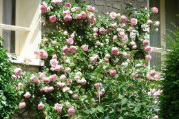 Размножение плетистых роз черенкованием, отводками и прививкой