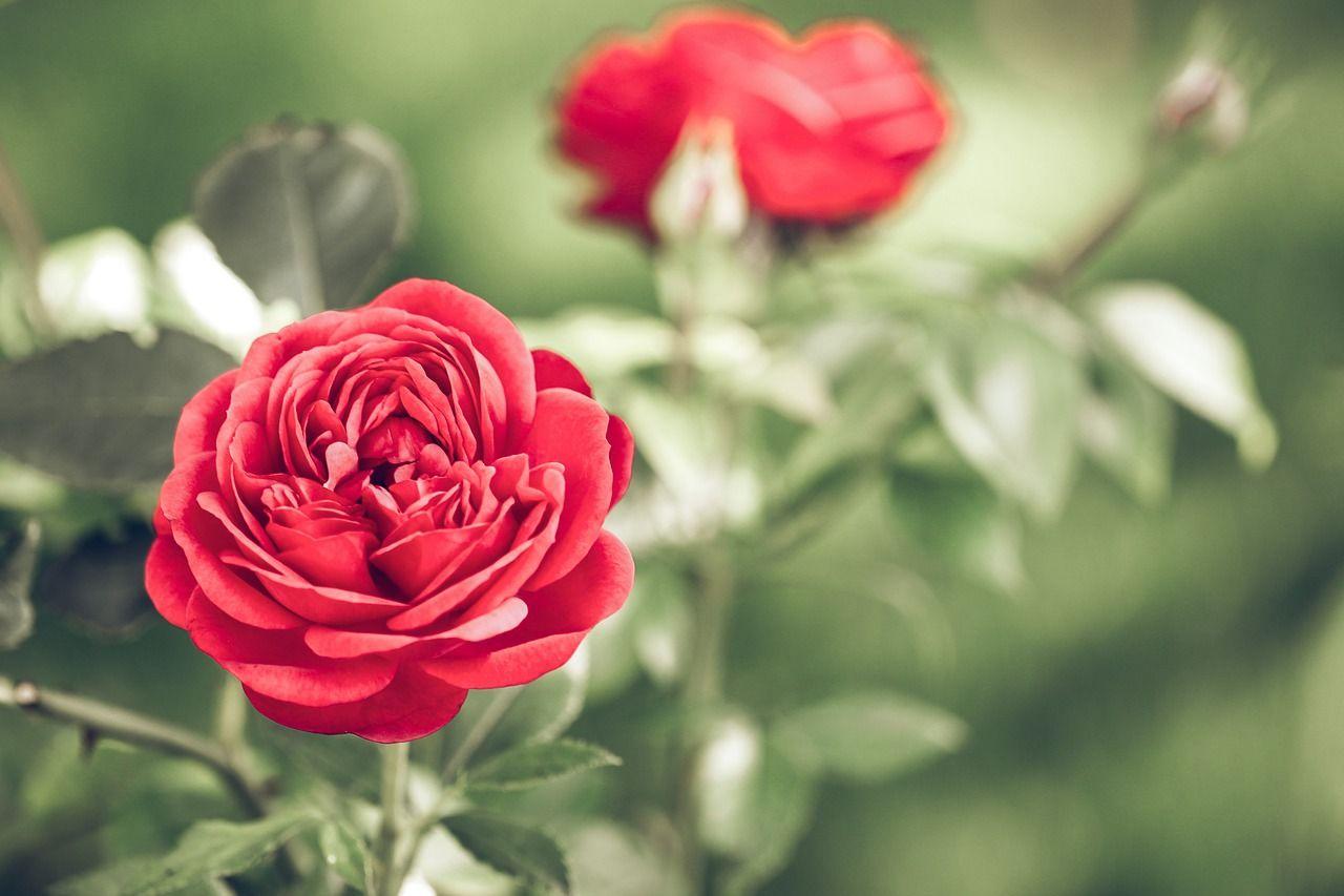 Простые советы: как правильно выбрать саженцы роз