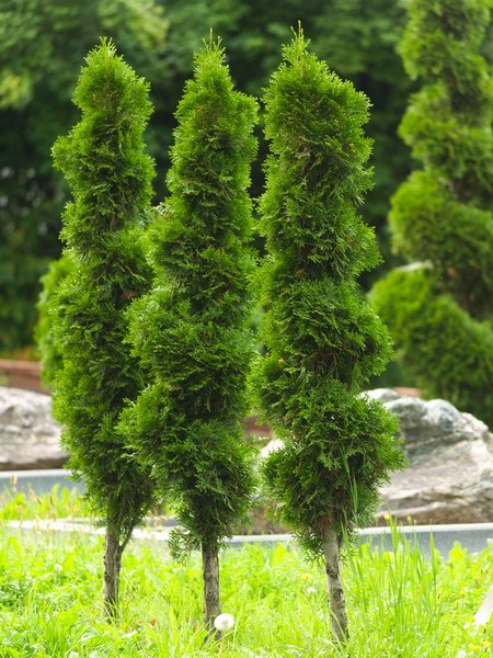 Традиционные деревья