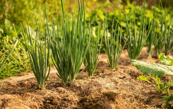 Сложно ли получить лук из семян