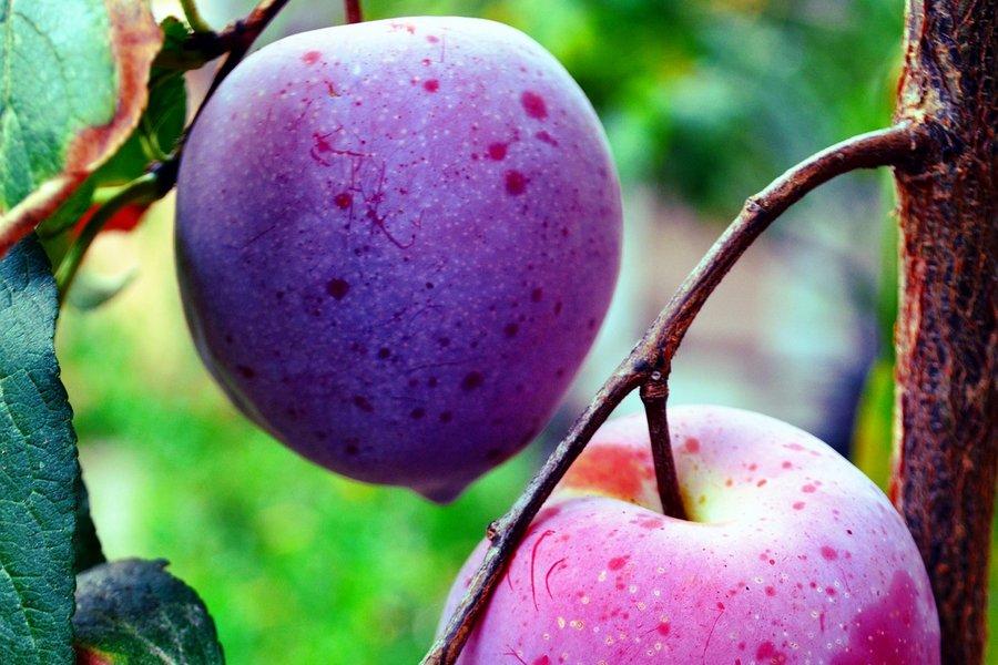 Особенности абрикоса Черный принц