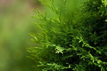 Декоративные хвойные растения для дачи