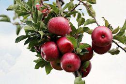 Как посадить яблоню правильно: 7 советов от садовода - профессионала