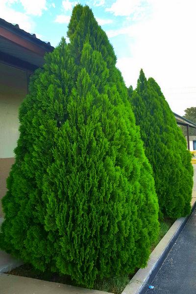 Туя «Смарагд» — зеленое украшение вашего сада