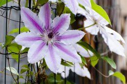 Где посадить клематис в саду и какие сорта