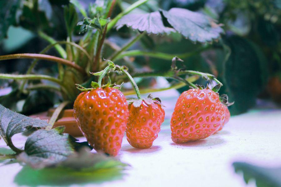 Выращивание клубники на гидропонике: преимущества и недостатки